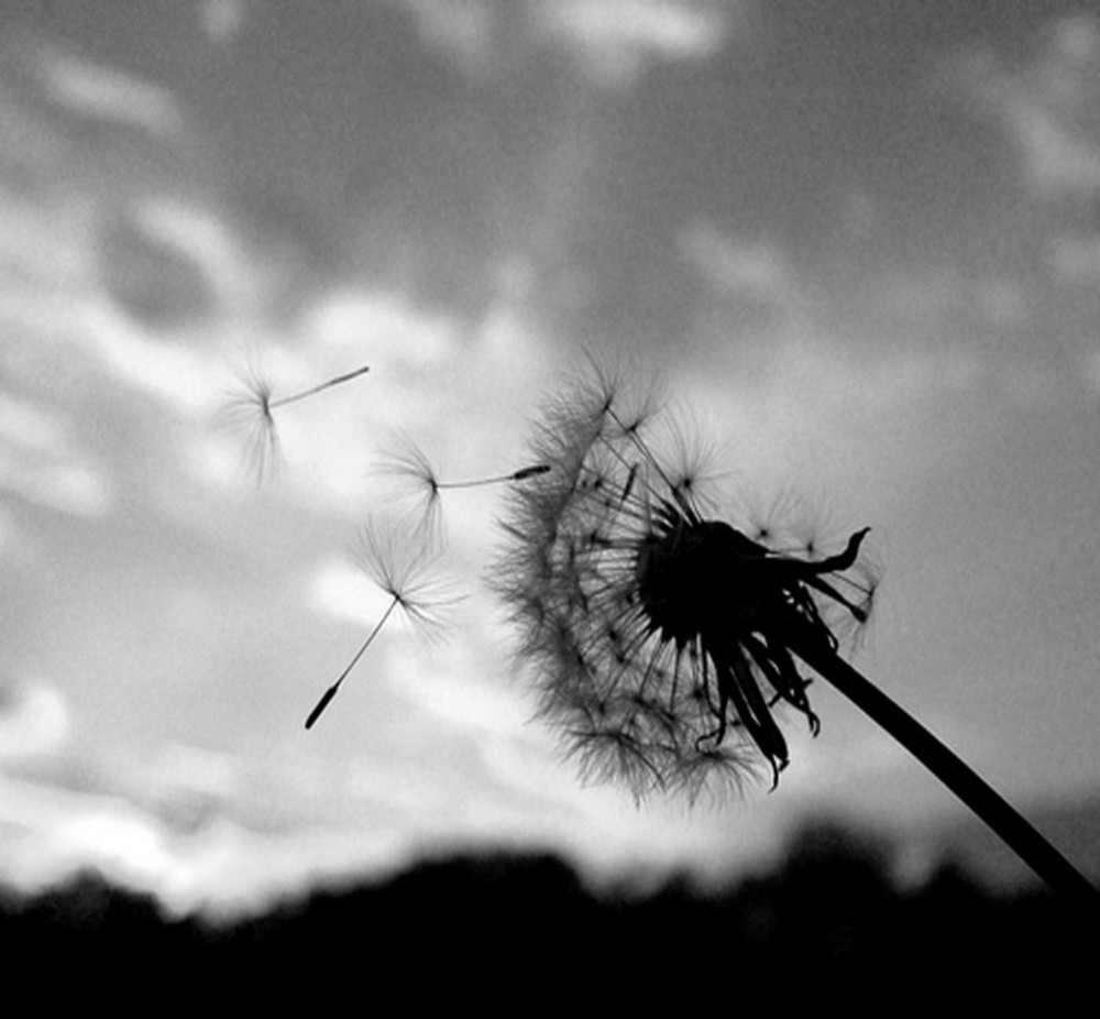 Blowing dandelion black and white - photo#8